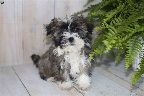 havanese puppies for sale in ohio havanese puppy for sale in ohio