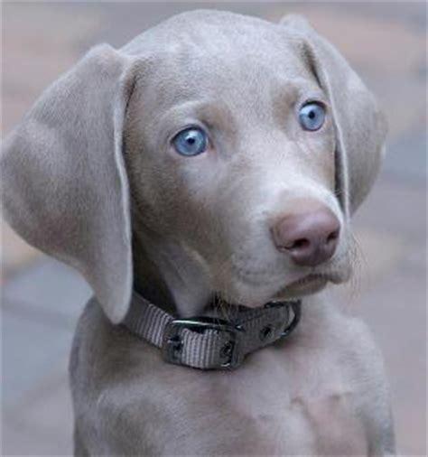 blue weimaraner puppies for sale freehart s weimaraner available california akc weimaraner puppies