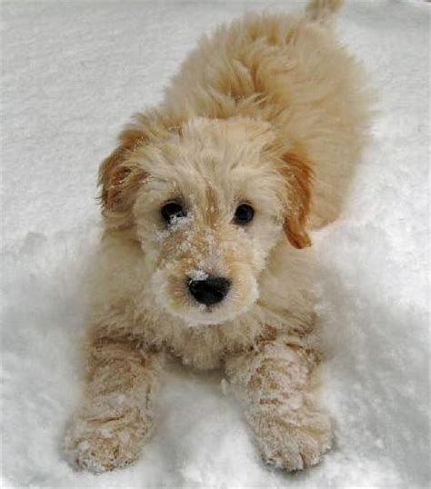 goldendoodle puppy behavior problems 17 best images about i mini goldendoodles on