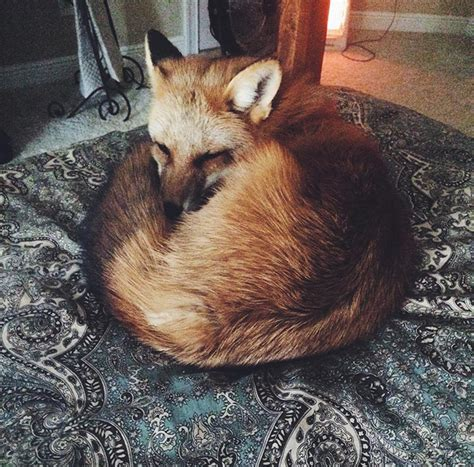 meet juniper  pet fox whos basically  orange dog