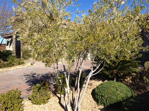 choice tree tips for growing olive trees in - Fruit Trees Las Vegas