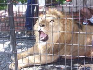 file lion in captivity jpg wikimedia commons