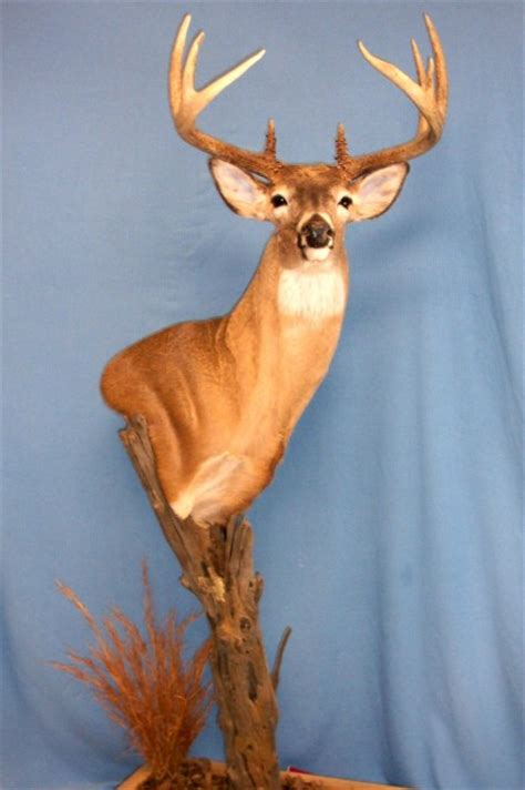 Whitetail Pedestal Mount Ideas whitetail pedestal mount ideas huntingnet forums