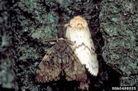 The Moth And The L Summary by Moth Lymantria Dispar Invasive