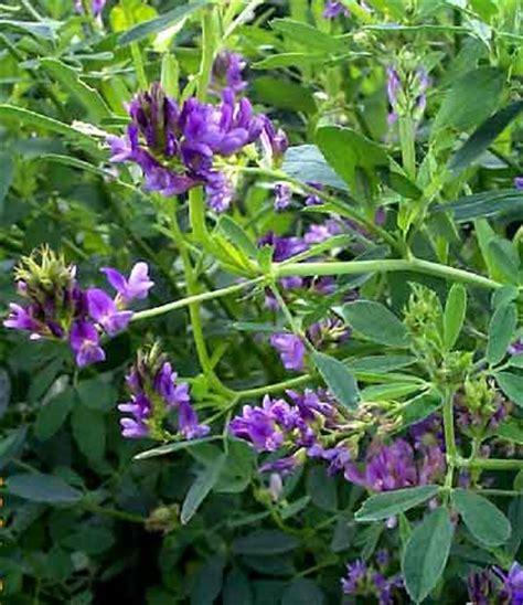 Obat Herbal Alfalfa alfalfa also known as lucerne forbes lucerne