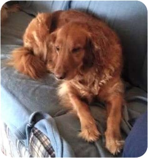 golden bay retriever sabrina adopted fc robert lincolnton nc golden retriever chesapeake bay