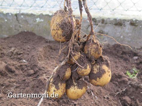 wann werden kartoffeln gesetzt wann muss ich die kartoffeln ernten gartenmoni altes