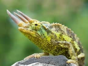 chameleon pictures lizard types