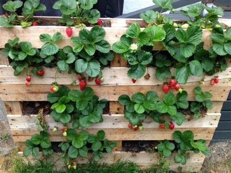 How To Plant Strawberries In A Strawberry Planter by Best 25 Strawberry Planters Ideas On