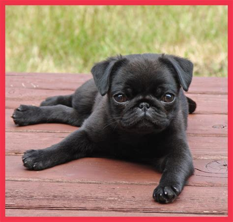 world pug day the cutest pug in the world f f info 2017