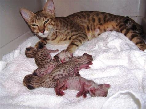 savannah house cat rexano exotic big cat feline gallery pet african serval savannah hybrid kittens
