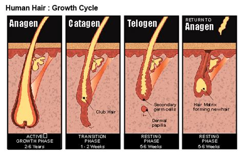 Shedding Phase Of Hair by Common Hair Loss Causes In
