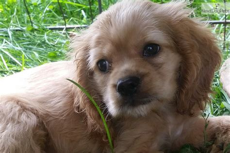 cocker spaniel puppies for sale ohio cocker spaniel puppy for sale near tuscarawas co ohio e0d4d9d2 f5e1
