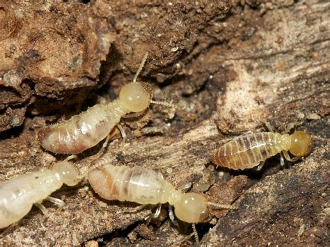 control termites naturally hubpages