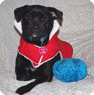 pug adoption san francisco san francisco ca patterdale terrier fell terrier pug mix meet a for