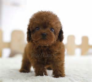 sold parker teacup poodle female itsy puppy teacup amp microteacup puppies sale itsy