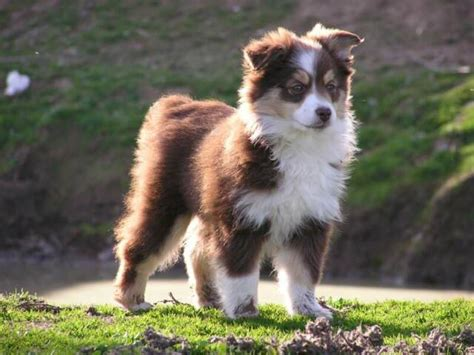 miniature australian shepherd puppies miniature australian shepherd temperament names rescue adoption