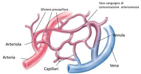 struttura vasi sanguigni vasi sanguigni