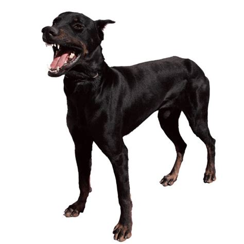 black dog best animals