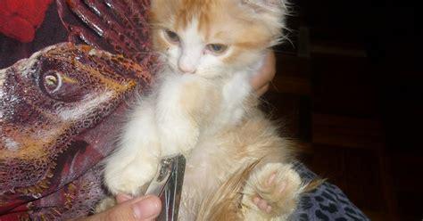 Gunting Kuku Kucing 622 2 kucing utara penjagaan kuku bulu
