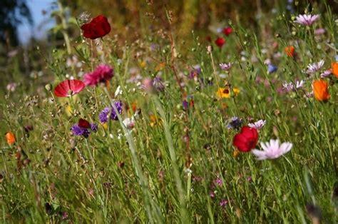 fotografie di fiori primavera fiori di primavera fiori di fiordaliso prato scaricare