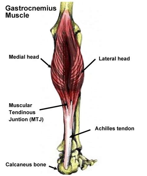 freehand calf muscle skin tear 1000 ideas about calf strain on pinterest calf muscles