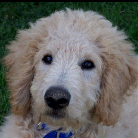goldendoodle with a mohawk goldendoodle haircut styles hairstylegalleries com