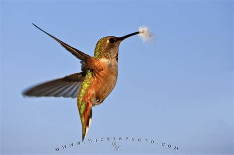 hummingbird wildlife picture photo information