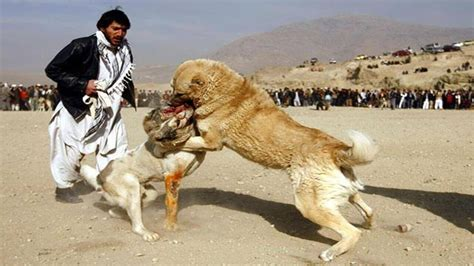 bully kutta puppies bully kutta breed characteristics appearance and pictures