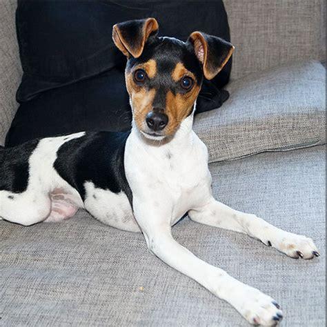 Brazilian Terrier Breed Guide - Learn about the Brazilian ...
