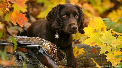 can a hunting dog be a house dog absolute gun dogs gun dog training and breeding