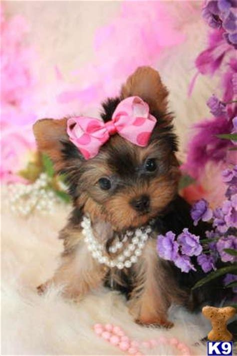 teacup yorkie uk yorkies show breeders breeds picture