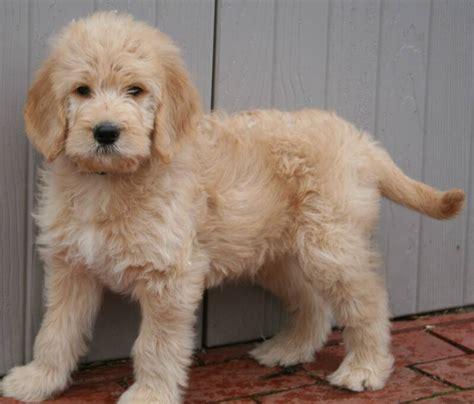 goldendoodle puppy thin coat loladoubledoodlesjan09