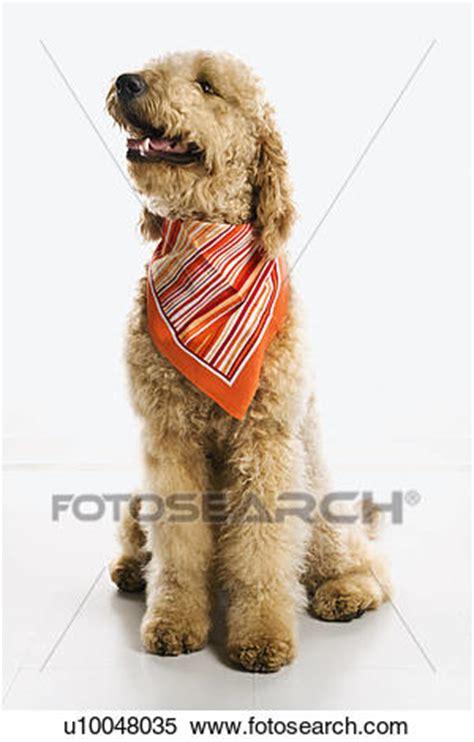 goldendoodle puppy panting stock image of goldendoodle wearing bandana u10048035