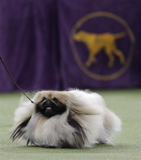 show dogs 141st westminster kennel club show