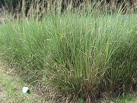 Akar Wangi Essential Vetiver vetiveria zizanioides l nash