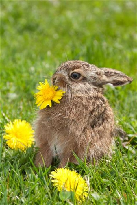 Bunny Nature Snack Fresh Green Snack With Dandelion 450g when gives you dandelions make dinner