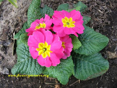 pink primrose flower pictures