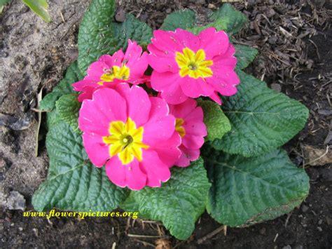 pink primrose flower pictures