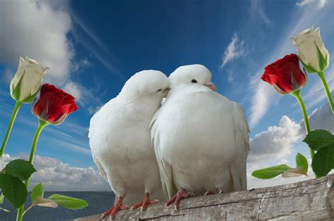 bird couple wallpaper hd doves images doves hd wallpaper and background photos