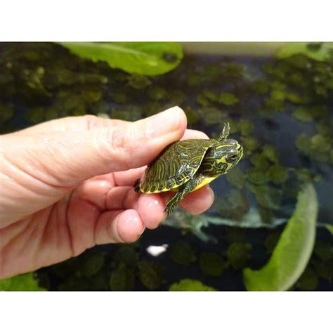 Yellow Belly baby yellow belly slider turtle www pixshark
