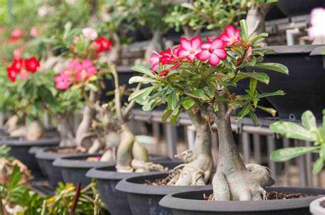 Jual Tanaman Adenium Obesum desert plant how to care for the adenium obesum flower