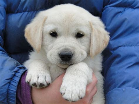 goldador puppies for sale 1000 images about goldador galore on so tired service dogs and pets