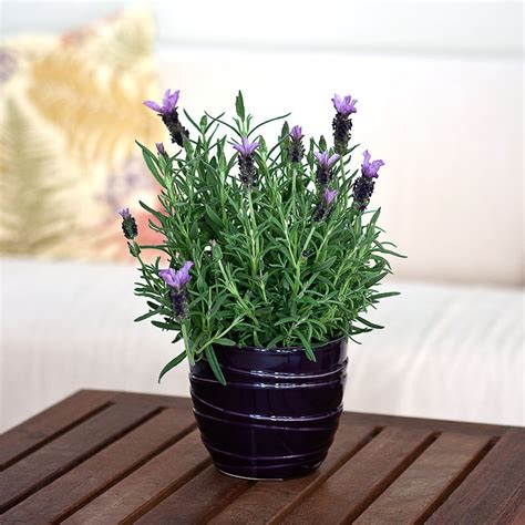 aromatic lavender plant in purple ceramic container