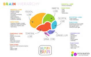 brain hierarchy   childs  brain levels