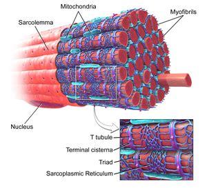 5 proteins of myofilaments myofibril