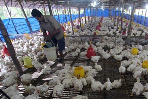 Bibit Bebek Hari Ini perusahaan bibit ayam ini mulai kurangi produksi