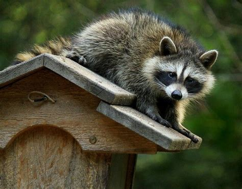 618 best images about raccoon