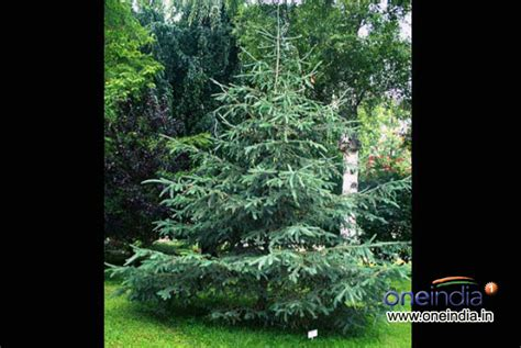 types of live christmas trees photos pics 229390