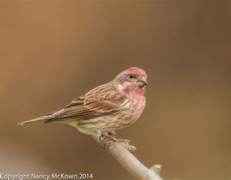 difference between purple finch and house finch difference between a house finch and a purple finch shuangyi zhongge